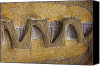 Prehistoric Canvas Prints - Mosasauras Teeth Canvas Print by Garry Gay