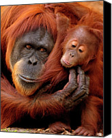 Orangutan Photo Canvas Prints - Mother And Baby Canvas Print by Andrew Rutherford  - www.flickr.com/photos/arutherford1