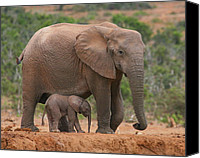 Baby Elephant Canvas Prints - Mother and Calf Canvas Print by Bruce J Robinson