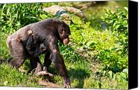 Chimpanzee Photo Canvas Prints - Mother and Child Canvas Print by Gert Lavsen