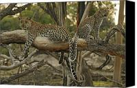 Leopards Canvas Prints - Mother And Daughter Leopards Touch Canvas Print by Beverly Joubert
