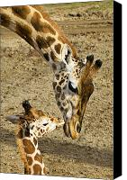 Kissing Canvas Prints - Mother giraffe with her baby Canvas Print by Garry Gay