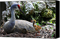 Sandhill Crane Canvas Prints - Mother listening Canvas Print by Barbara Bowen