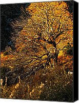Burning Tree Canvas Prints - Mount Lemmon Burning Bush Canvas Print by John Haldane