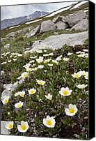 Avens Canvas Prints - Mountain Avens Canvas Print by Bob Gibbons
