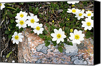 Avens Canvas Prints - Mountain Avens (dryas Octopetala) Canvas Print by Bob Gibbons