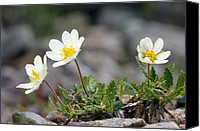 Avens Canvas Prints - Mountain Avens (dryas Octopetala) Canvas Print by Duncan Shaw