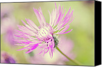 "Montana Canvas Prints - Mountain Cornflower Pink Canvas Print by ""Leentje photography"" by Helaine Weide"