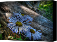 Southern Rocky Mountains Canvas Prints - Mountain Daisies and a Downed Spruce Canvas Print by Aaron Burrows
