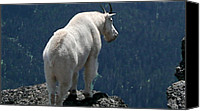 Olympic National Park Canvas Prints - Mountain goat 2 Canvas Print by Sean Griffin