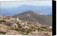 Rocky Mountains Canvas Prints - Mountain Goat Mother And Kid In Mountain Home Canvas Print by Max Allen