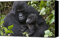Primates Canvas Prints - Mountain Gorilla And Baby Rwanda Canvas Print by Suzi Eszterhas