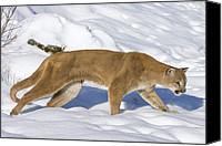 Mountain Lion Canvas Prints - Mountain Lion Puma Concolor Hunting Canvas Print by Matthias Breiter