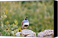 Quail Canvas Prints - Mr. Gambel Canvas Print by Scott Pellegrin
