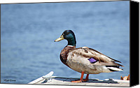 Colorful Feathers Photo Canvas Prints - Mr. Mallard Poses for the Paparazzi Canvas Print by Michelle Wiarda