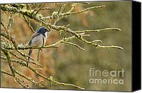 Scrub-jay Photo Canvas Prints - Mr Scrub Jay Canvas Print by Reflective Moments  Photography and Digital Art Images