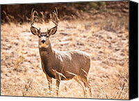 Mule Deer Canvas Prints - Mule Deer Buck Canvas Print by Adam Pender
