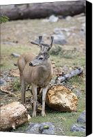 Mule Deer Canvas Prints - Mule Deer Odocoileus Hemionus Buck Canvas Print by Rich Reid