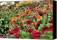 Chrysanthemums Photographs Canvas Prints - Mums Canvas Print by Janice Drew