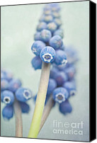 Outdoor Still Life Canvas Prints - Muscari Canvas Print by Priska Wettstein