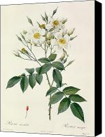 Redoute; Pierre Joseph (1759-1840) Canvas Prints - Musk Rose Canvas Print by Pierre Joseph Redoute