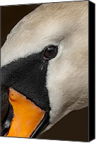 Cygnus Olor Canvas Prints - Mute Swan Close Up Canvas Print by Andy Astbury