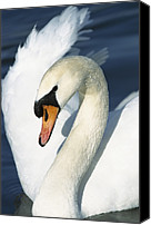 Cygnus Olor Canvas Prints - Mute Swan Cygnus Olor Close-up Canvas Print by Konrad Wothe