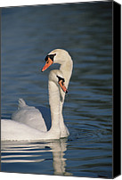 Cygnus Olor Canvas Prints - Mute Swan Cygnus Olor Couple Courting Canvas Print by Konrad Wothe