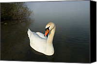 Cygnus Olor Canvas Prints - Mute Swan Cygnus Olor On Lake, Bavaria Canvas Print by Konrad Wothe