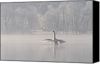 Cygnus Olor Canvas Prints - Mute Swan Cygnus Olor Stretching Canvas Print by Konrad Wothe