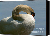 Cygnus Olor Canvas Prints - Mute Swan Canvas Print by Sharon  Talson