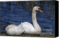 Cygnus Olor Canvas Prints - Mute Swans by Lagoon Canvas Print by Sharon  Talson