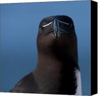 Razorbill Photo Canvas Prints - My Blade is razor sharp.. Canvas Print by Nina Stavlund
