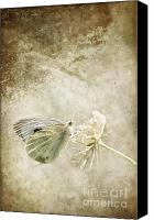 Insects Mixed Media Canvas Prints - My little butterfly Canvas Print by Angela Doelling AD DESIGN Photo and PhotoArt