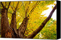 James Insogna Canvas Prints - My Maple Tree Canvas Print by James Bo Insogna