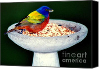 Singing Canvas Prints - My Painted Bunting Canvas Print by Karen Wiles
