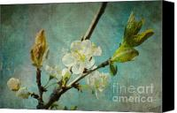 Knospen Mixed Media Canvas Prints - My springtime Canvas Print by Angela Doelling AD DESIGN Photo and PhotoArt