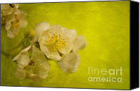 Lois Bryan Canvas Prints - My Sweet Wild Rose Canvas Print by Lois Bryan