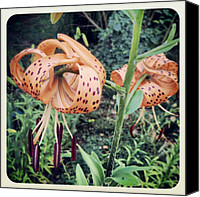 Rain Canvas Prints - My Tiger Lilies Bloomed After The #rain Canvas Print by Melissa Wyatt
