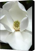 Magnolias Canvas Prints - Mysteriously Canvas Print by Amanda Barcon