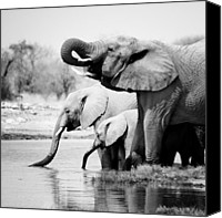Bw Canvas Prints - Namibia Elephants Canvas Print by Nina Papiorek