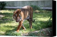 National Zoo Canvas Prints - National Zoo - Gunter - Sumatra Tiger  Canvas Print by Ronald Reid