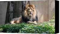 National Zoo Canvas Prints - National Zoo - Luke - African Lion Canvas Print by Ronald Reid