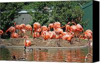 National Zoo Canvas Prints - National Zoo - Pink Flamingos - in a Bunch Canvas Print by Ronald Reid