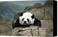 National Zoo Canvas Prints - National Zoo - Tian Tian - Giant Panda Canvas Print by Ronald Reid