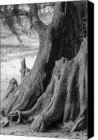 Cypress Knees Canvas Prints - Natural Cypress Canvas Print by Carolyn Marshall