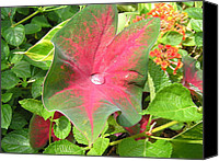 Caladium Photo Canvas Prints - Natures Cup Canvas Print by Michael MacGregor