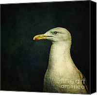 Seagull Photo Canvas Prints - Naujaq Canvas Print by Priska Wettstein