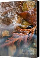 Cedar Canvas Prints - Near Winter Canvas Print by Tim Isaak