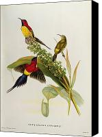 Ornithology Canvas Prints - Nectarinia Gouldae Canvas Print by John Gould